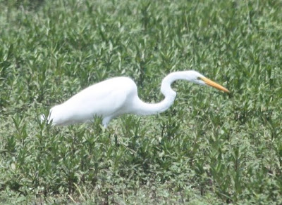 great (common) egret