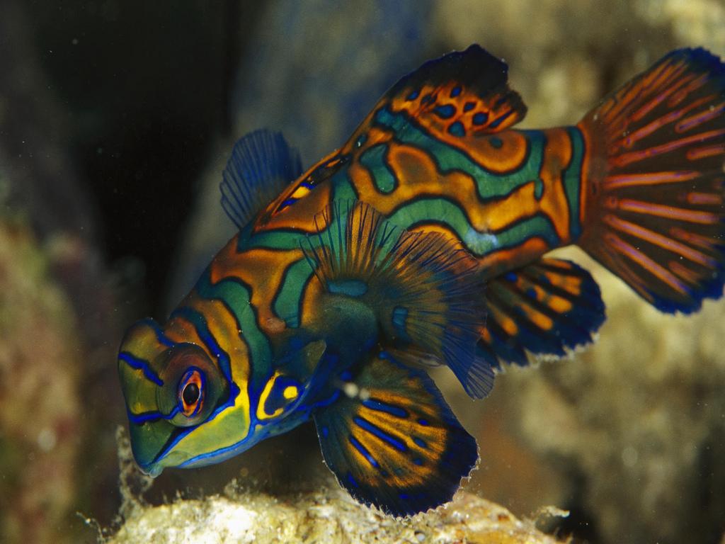 Tropical Freshwater Aquarium Fish Mail Order  German Blue