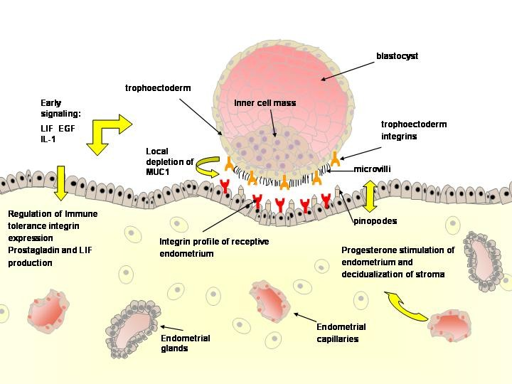Clomid ovulation implantation