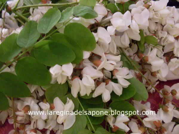 La regina del sapone aceto ai fiori di acacia for Fiori bianchi profumati a grappolo