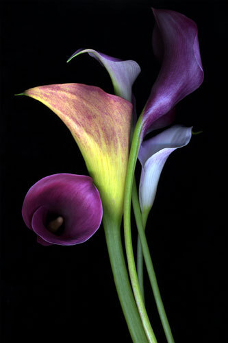 Calla Lily Tattoo by ~ragdollgrl13 on deviantART