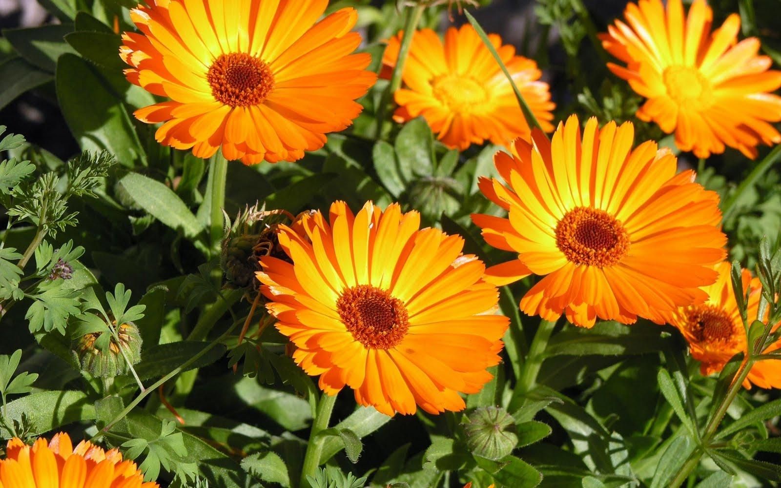 http://3.bp.blogspot.com/_EFOkLzJCJeA/TFU6EQnKGDI/AAAAAAAAARI/niPMhPrzmdI/s1600/orange-flowers-wallpapers_11073_1920x1200.jpg