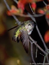 Calliope Hummingbird