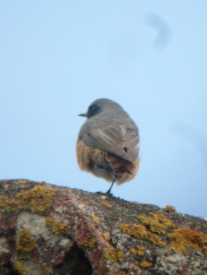Hybrid Common Redstart x Black Redstart