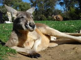 Kangoroo