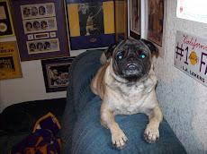Millie the Pug