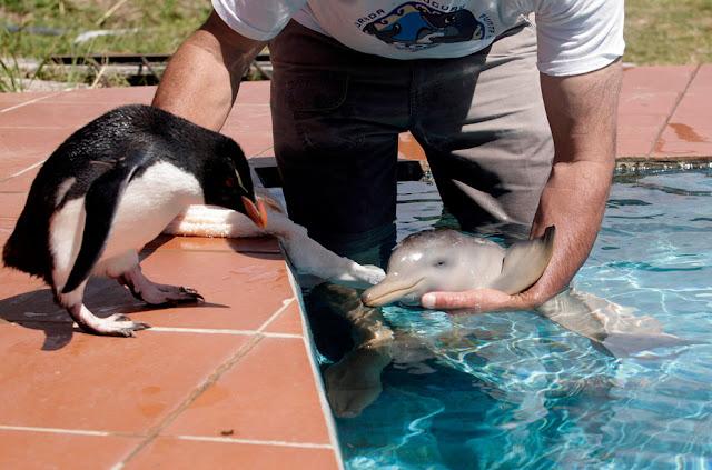 Пингвин и дельфинёнок