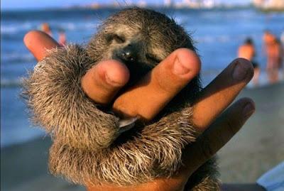 baby sloth hugging a hand