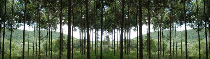 Pokok Gaharu