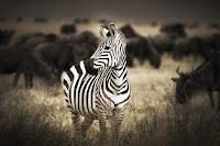 Zebra News