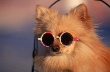 Pomeranian dog wearing sunglasses