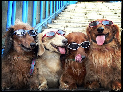 Group of dogs wearing sunglasses