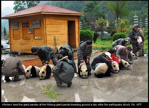 Ursos pandas no Bercario
