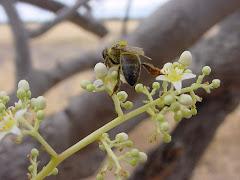 Uma abelha na flor do imbuzeiro