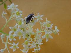 Inseto na floração do imbuzeiro