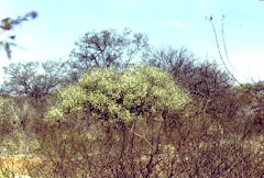 Imbuzeiro com intensa floração