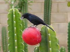 O fruto do mandacaru