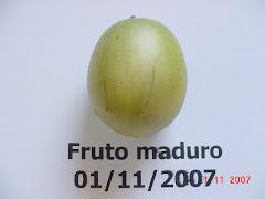 Fruto maduro do imbuzeiro no mês de novembro