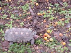 O jabuti consumindo frutos do imbuzeiro
