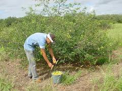 Colheita de imbu em planta jovem