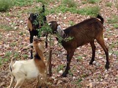 O ataque dos caprinos a muda de imbuzeiro