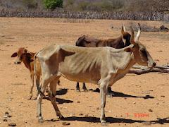 A fome dos animais na seca