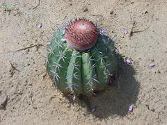 A coroa-de-frade na caatinga