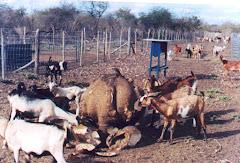 Caprinos consumindo o mamãozinho-de-veado
