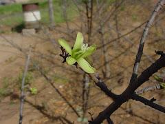 A flor do mamãozinho-de-veado