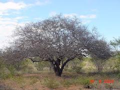Planta de imbuzeiro na fase de dormência vegetativa