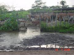 A lama em um curral