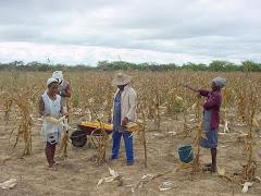 A colheita de milho no sertão