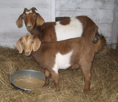 Our 2 new goats - Abigail & Bathsheba