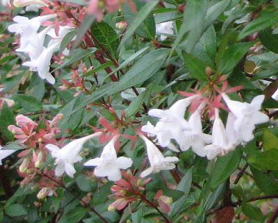 Beauty Bush flowers.