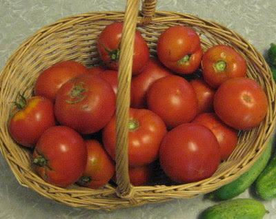 Basket of freshly picked garden tomatoes