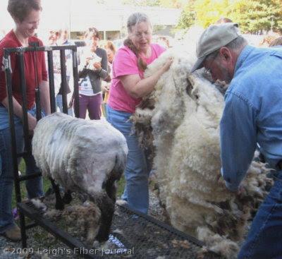 A gorgeous gray Shetland fleece