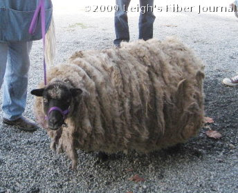 The sheep to be sheared