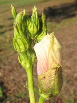Loads of okra buds, no pods.  :(