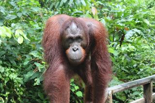 Orang-utans (Pongo pygmaeus)