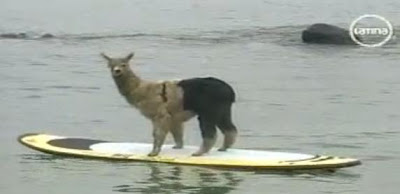 alpaca-peruana-pisco-surfista-surfean-peruvian-learns-to-surf