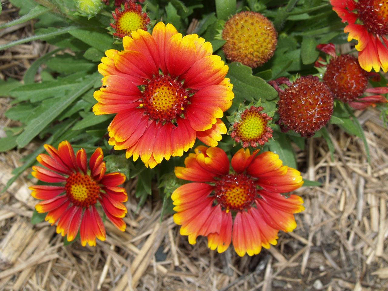 Florez Nursery Gaillardia Arizona Sun