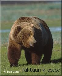Fakta Unik Tentang Beruang Coklat