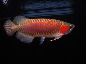 Ikan Hias Air Tawar Asal Kalimantan Barat (West Borneo)