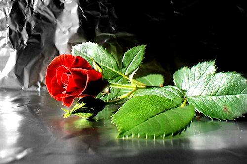 Rosas de colores parte II (10 fotografías gratis)