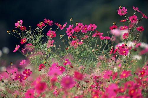 Las flores de mi jardín V (8 imágenes gratis para compartir)