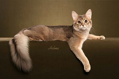 Abyssinian Cat Fluffy