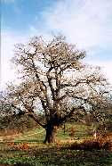 a Claybury Oak Tree