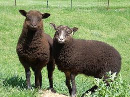 2009 Shetland ewe twins