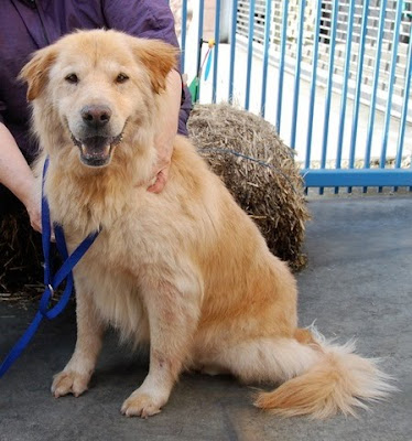 golden retriever mix chow. Golden Retriever/Chow mix