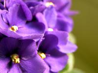 Como cuidar de violeta